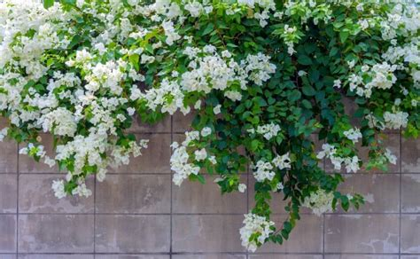 Flowering Vines Top 10 Best Flowering Climbing Plants