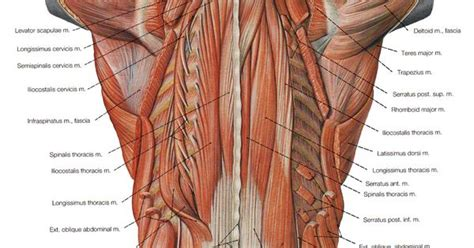 The veins of the upper portion of the back drain into the posterior intercostal veins, while lumbar veins from the lower portion of the back drain into the inferior vena cava. http://humananatomybody.info/anatomy-of-muscles-hip-and ...
