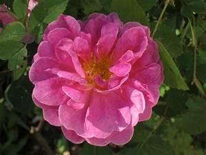 Alte Rosensorten Stark Duftend : ausmary englische rose kaufen bei agel rosen ~ Michelbontemps.com Haus und Dekorationen