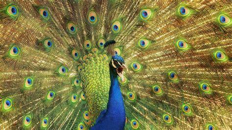 peacock feather wallpaper windows  wallpapersafari