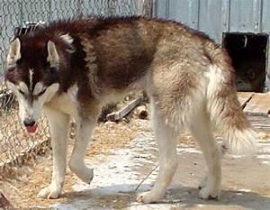 Siberian Husky Wolf Mix Photo - Happy Dog Heaven
