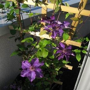 Kletterpflanzen Für Balkon : clematis jackmanii f r balkon und terrasse online kaufen ~ Buech-reservation.com Haus und Dekorationen