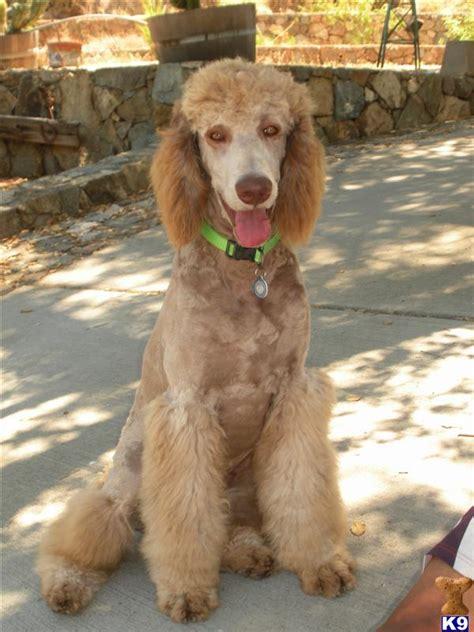 standard poodle breed description history  overview