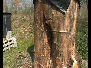 Comment Creuser Un Tronc D Arbre : colonie d 39 abeilles dans un tronc d 39 arbre youtube ~ Melissatoandfro.com Idées de Décoration