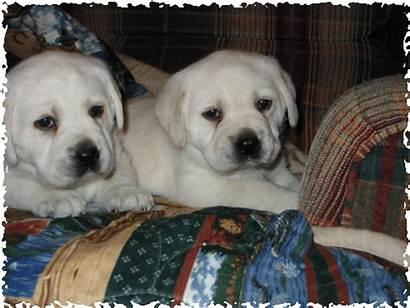 Lab Puppy Puppies Bear Polar