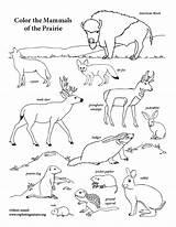 Mammals Coloring Prairie sketch template