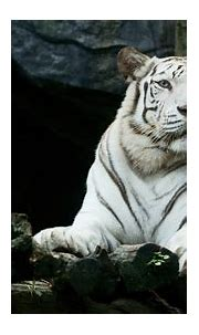 3840x2160 Big White Tiger Hd 4k HD 4k Wallpapers, Images ...