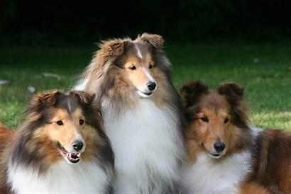 Shetland Sheepdog Sheltie Dog Wallpapers Dogs Animals
