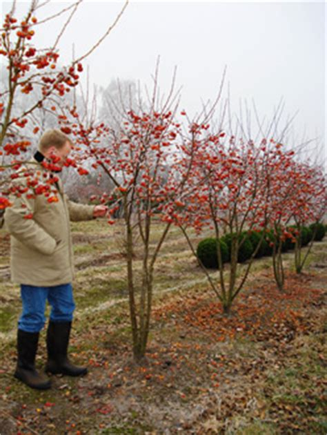 malus evereste crab apple