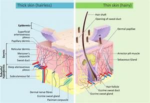 File:Skin layers.svg - Wikipedia