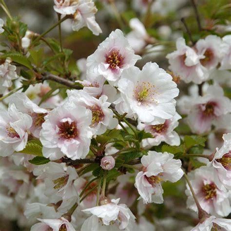 prunus flowering cherry prunus hally jolivette buy cherry blossom flowering