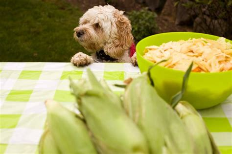 can dogs eat corn cobs can dogs eat corn on the cob cuteness com