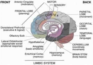 Structure in the Brain | TutorVista