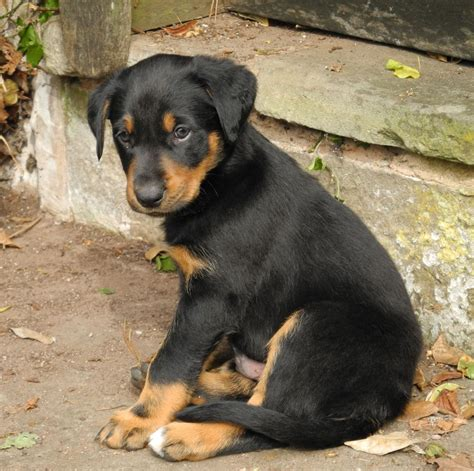 Huntaway Puppies For Sale  Ross On Wye, Herefordshire