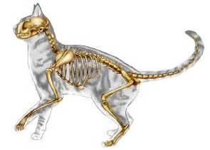 cat bones cat skeletal anatomy by jacquelinerae on deviantart