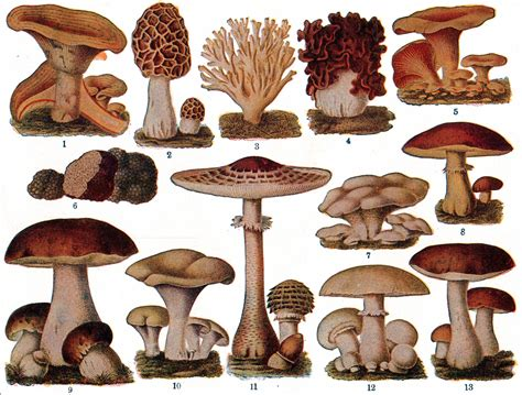 types of mushrooms different types fungi different types