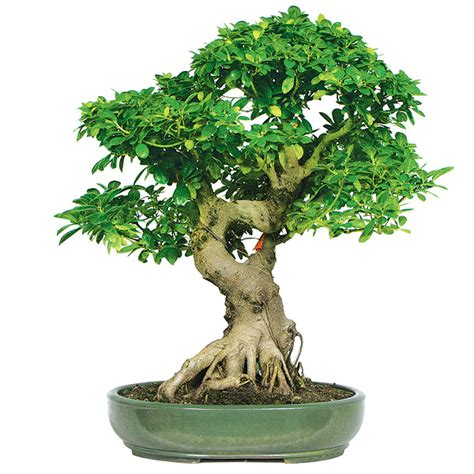 indoor plants low maintenance ficus bonsai care