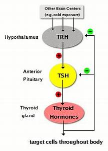 Control of Thyroid Hormone Synthesis and Secretion