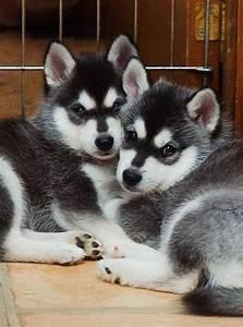 Meer dan 1000 ideeën over Mini Husky's op Pinterest ...