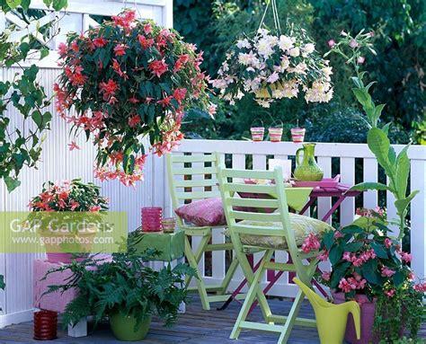 Garden Blush Begonia by Gap Gardens Begonia Belleconia Apricot Blush