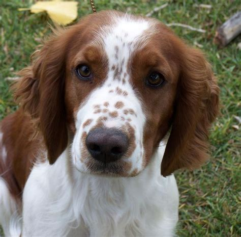 springer spaniel shedding 37 best images about springer spaniels on