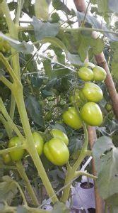 manfaat tanaman berbuah diberikan npk    tips petani