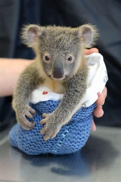 Koala Surgery Koalas Mom Adorable During Animals