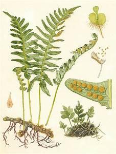 Polypodium vulgare. from left counterclockwise: rhizome ...