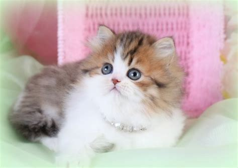 Teacup Persian Cats, Teacup Persian Kittens, Miniature