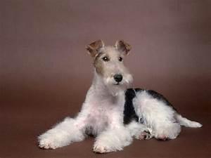 Wire Fox Terrier Info, Temperament, Grooming, Puppies ...