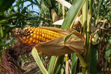 Organic Maize Farming, Cultivation Practices (Corn) | Agri ...