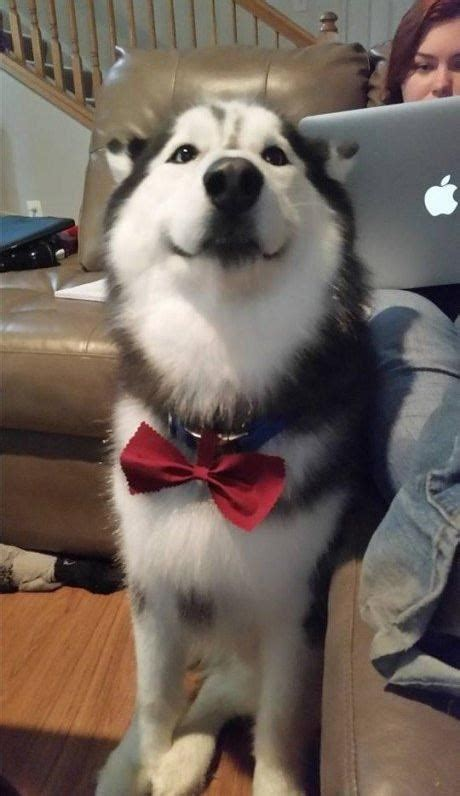 hotdog bow tie funny dog pictures dog memes