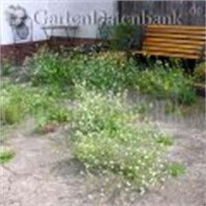 Unkraut Zwischen Steinen : graukresse berteroa incana schneiden pflege pflanzen ~ Michelbontemps.com Haus und Dekorationen