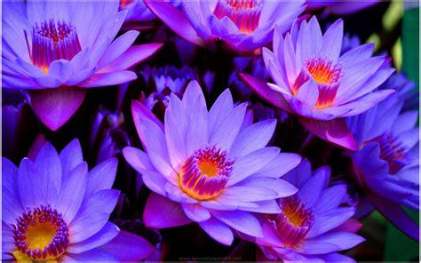 Blue Lotus Flower Hd Wallpaper