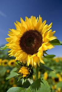 Helianthus annuus | common sunflower/RHS Gardening
