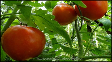 tomato plant care tomato plant care give them what they need