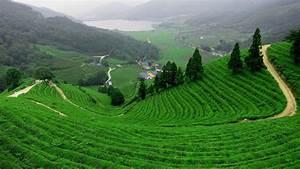 Wallpaper Tea Garden