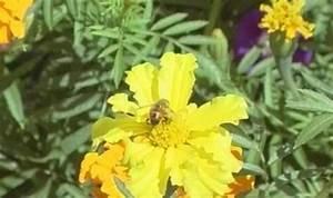 Польза пчелиной пыльцы для потенции