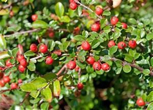 Strauch Mit Roten Beeren Im Winter : cotoneaster zwergmispel sorten pflanzen schneiden und vermehren ~ Frokenaadalensverden.com Haus und Dekorationen
