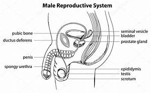 Basic Male Reproductive System Diagram Labeled