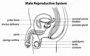 Sistema Reproductor Masculino  U2014 Vector De Stock