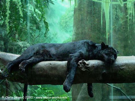 Black Jaguar Habitat by Black Jaguar