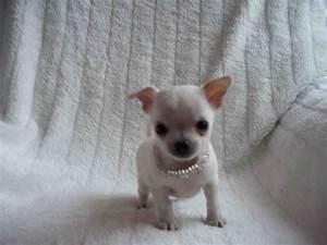 Image Gallery newborn chihuahua puppies tiny