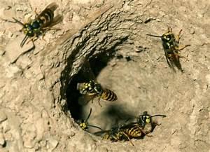 Nid De Guepe Dans Le Sol : vespula germanica nid de gu pe le monde des insectes ~ Dailycaller-alerts.com Idées de Décoration