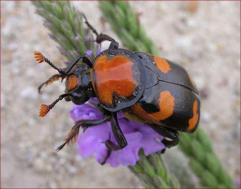 American Burying Beetle Loses Endangered Status Despite ...