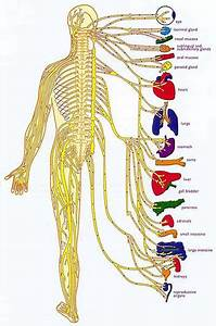 Maintain Proper Nerve Supply With Chiropractic Adjustments