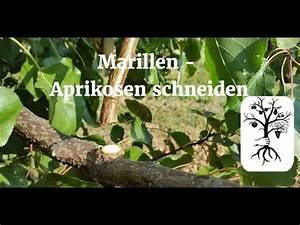 Wann Schneidet Man Hortensien Zurück : marillenbaum aprikosenbaum richtig schneiden ~ Lizthompson.info Haus und Dekorationen