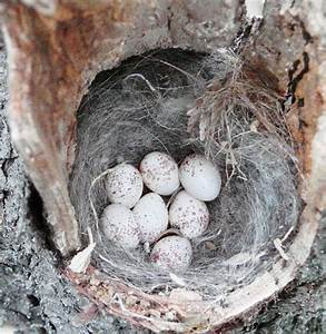Free Images Baby Black Capped Chickadee Nest And Eggs Dpwagtail Flickr