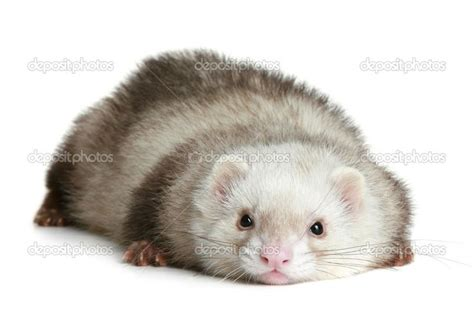 best 25 ferrets ideas on ferrets pet