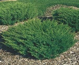 Juniper Richmond VA - Cross Creek Nursery & Landscaping